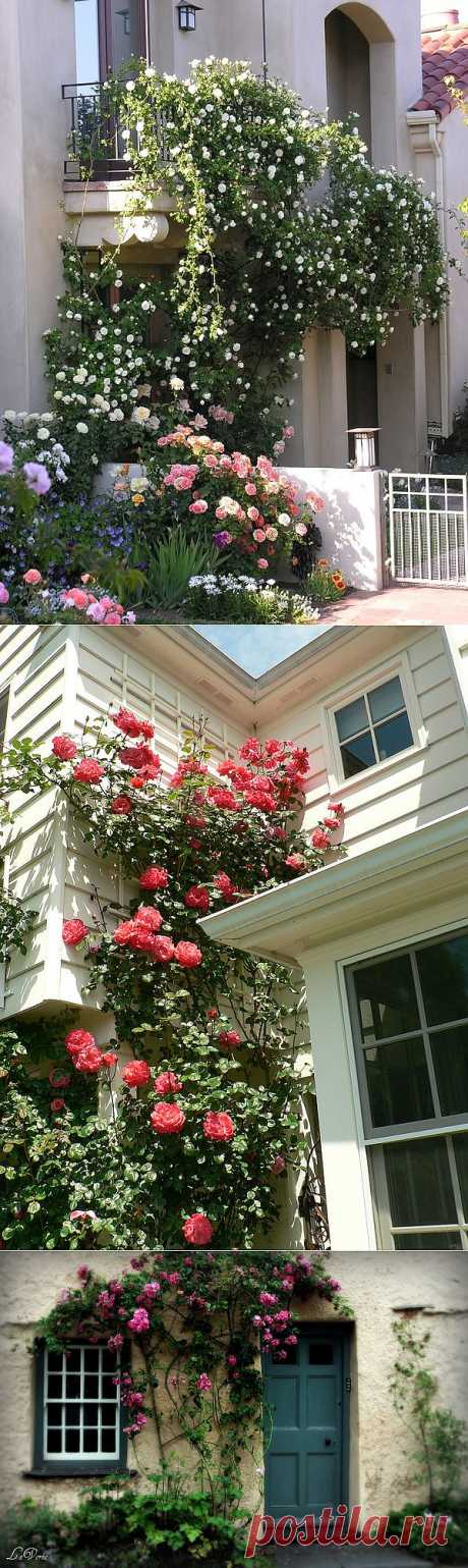 Pletisty roses in a garden, on arches and walls of the house.