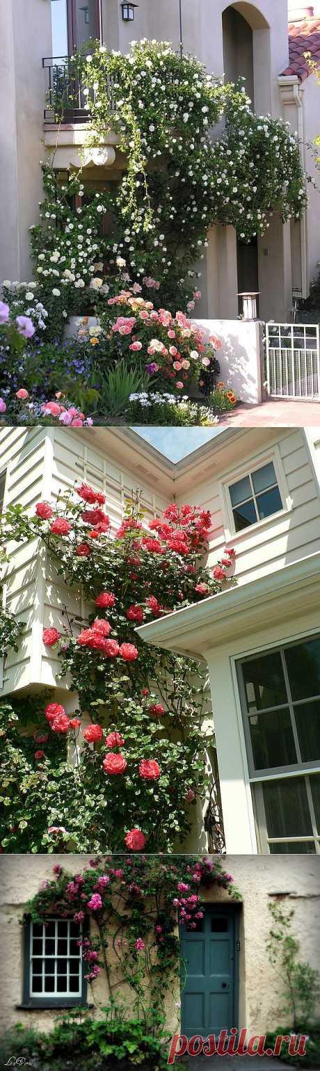 Плетистые розы в саду, на арках и стенах дома.