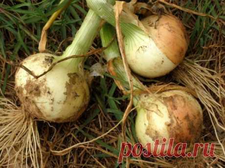 ¿10 secretos como criar la cosecha buena de la cebolla? »El Mundo femenino