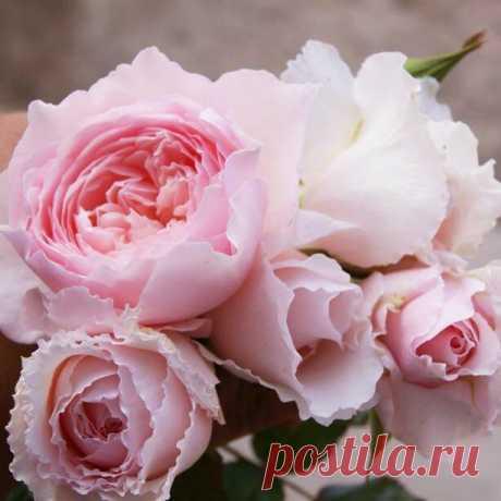 Розы японской селекции. | Загородные идеи | Яндекс Дзен