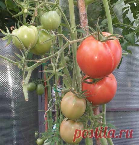 5 шагов вырастить сладкие томаты, тонкости и особенности, чтоб получить сладкие плоды | Садоводство с Элен | Яндекс Дзен