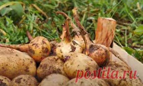В чем хранить лук и чеснок после уборки на хранение | БЛОГ ДАЧНИЦЫ | Яндекс Дзен