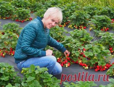 """Четыре """"революции"""" в производстве ягод земляники – рассказывает специалист."""