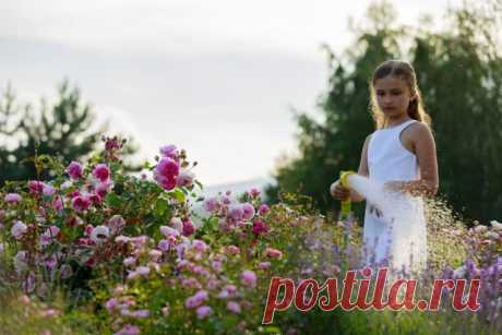 Как ухаживать за розами летом