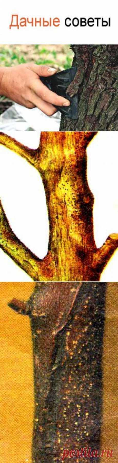 Защитить кору деревьев от ожогов, лечениие коры от черного рака, цитоспороза, усыхания