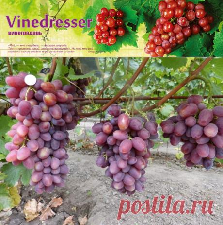 Виноград Мечта Фермера - описание и фото сорта