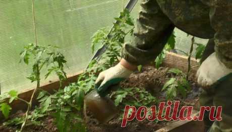 Чем подкармливать помидоры в теплице, чтобы был хороший урожай | Томаты (Огород.ru)