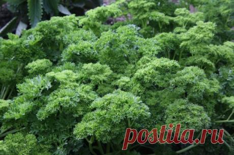 Мини-огород на подоконнике: весенняя зелень