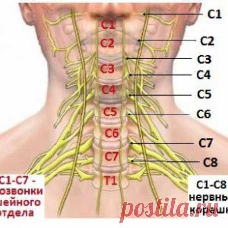 Клиника шейных корешковых синдромов...  Поражение корешков С1 С2, С3 встречается крайне редко. В силу анатомо-функциональных особенностей три первых шейных корешка при нейродистрофических процессах практически не ущемляются и явлений выпад…