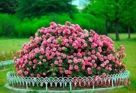 5 частых ошибок при подготовке роз к зиме, которые могут негативно сказаться на цветении в новом сезоне.