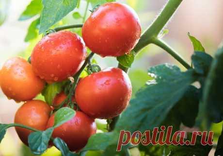"""Секреты выращивания помидоров с помощью аспирина   Журнал """"JK"""" Джей Кей Выращивать помидоры на огороде достаточно тяжело. Растение нередко подвергается различным заболеваниям и нападениям вредителей. Оно требовательно к разным условиям: температуре,"""