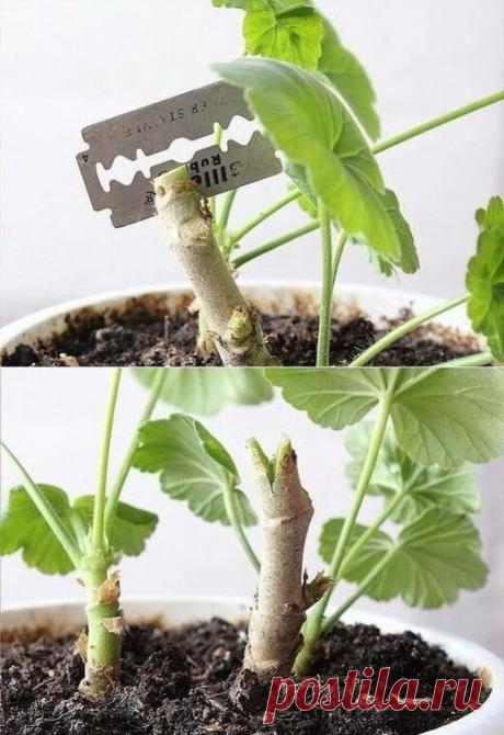 На заметку! КАК ОБРЕЗАТЬ ГЕРАНЬ ДЛЯ ПЫШНОГО ЦВЕТЕНИЯ НА ЗИМУ Герань – неприхотливое растение, она будет прекрасно расти на любом подоконнике. У нее есть только один, но значительный минус – цветок вытягивается вверх очень быстро, без должного ухода его внешний вид становится не слишком привлекательным: растение превращается в несколько длинных узловатых веток, лишенных листьев.  Именно так и произошло с моей первой пеларгонией – к сожалению, она стала выглядеть непрезентаб...