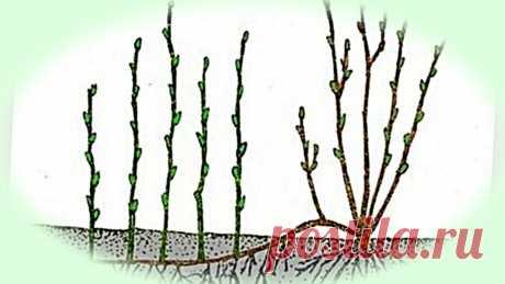 Как размножить ягодные кустарники. 4 рабочих способа обновить смородину | Дом, в котором хорошо | Яндекс Дзен Раз в 10-12 лет кусты смородины нужно обновлять для хорошего урожая. Посмотрите, как просто это сделать.