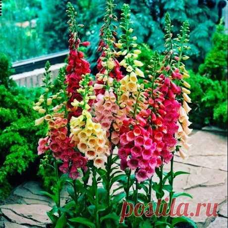 Наперстянка — красота в простоте Все части растения ядовиты! • Своим названием наперстянка обязано пониклым цветком округлой формы, напоминающим наперсток. Садоводы цветок наперстянка очень любят за большую декоративность всего растения. В цветоводстве чаще выращивают как двулетник. Наперстянка очень декоративна, ее соцветия состоят из множества цветков колокольчато-трубчатой формы длиной 3—4 см белой, розовой, лиловой, красной и кремовой окраски с темными пятнышками на вн...