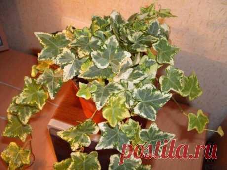 Плющ комнатный: приметы и особенности ухода в домашних условиях Комнатный плющ, или Хедера, – одно из самый популярных у цветоводов-любителей растений, относящееся к роду Плющ (Hedera) и семейству Аралиевые (Araliaceae). Этот вечнозелёная и вьющаяся декоративная к...