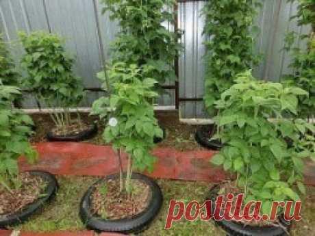 Оригинальный способ выращивания малины. - Садоводка