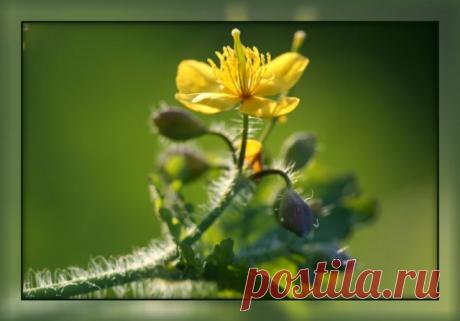 5 ФАКТОВ О ПОЛЬЗЕ ЧИСТОТЕЛА И ПОЧЕМУ ЕГО ТАК ОБОЖАЮТ ИСПОЛЬЗОВАТЬ ОПЫТНЫЕ САДОВОДЫ-ОГОРОДНИКИ Сохраните, чтобы не потерять!  Нежные кусты зелёной травы с жёлтыми цветочками и ярко-желтым соком на срезах стеблей заполоняют многие садово-огородные участки. Кто-то с ними борется и активно занимается прополкой, кто-то срывает траву, чтобы прижечь бородавку, а кто-то не обращает на кусты внимания, давая разрастаться чистотелу вволю.  На самом деле чистотел применим не только в ...