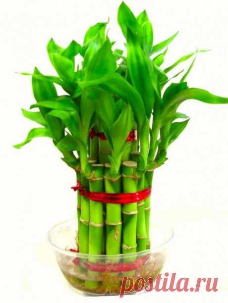 Как растить бамбук в домашних условиях в грунте: правила посадки и ухода «Счастливый бамбук» или «бамбук лаки» — это легкое в уходе комнатное растение. Оно хорошо растет при слабом непрямом свете и является миниатюрной альтернативой огромного вечнозеленого злака, произраст...