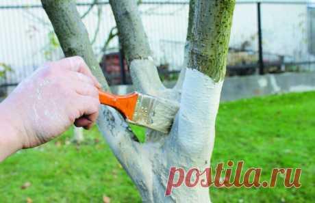 Побелка плодовых деревьев: когда и чем белить сад осенью | 6 соток