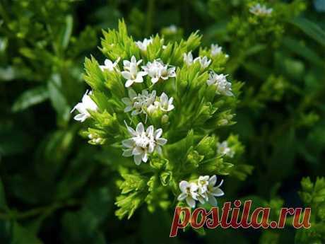 El tratamiento por la planta steviya para el organismo