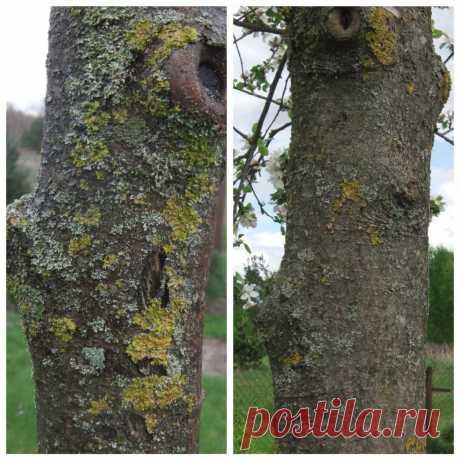 Беру соль и опрыскиваю деревья — лишайники отваливаются, кора становится как новая, вид до и после обработки | Собираем урожай | Яндекс Дзен