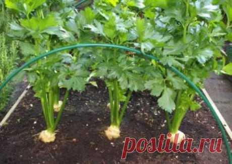 Выращиваем сельдерей в огороде. Как добиться невероятного урожая!