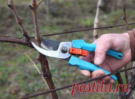 5 типичных ошибок при обрезке лозы винограда  Виноград − очень урожайная культура и совсем он не капризный, по крайней мере, большинство сортов. Поэтому, если кусты халтурят, значит, скорее всего вы делаете ошибки в обрезке. Лучше учиться на чуж…