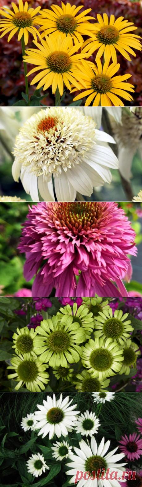 Ехінацея — особливості вирощування і найкрасивіші сорти. Опис, фото - ЗЕЛЕНА САДИБА