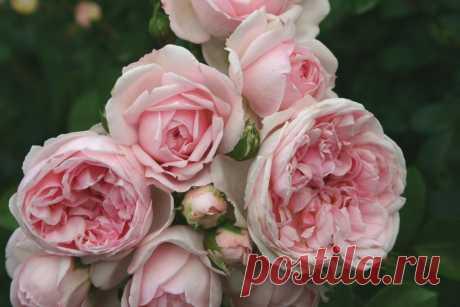 Английские, парковые, шрабы - Розы Синдерелла