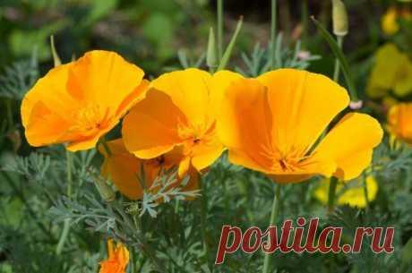 9 extremadamente hermoso odnoletnikov, que florecen todo el verano | Letniki (Огород.ru)