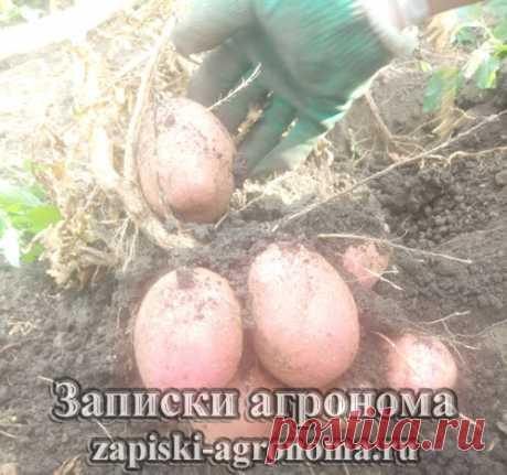 Способы выращивания картофеля • zapiski-agronoma.ru