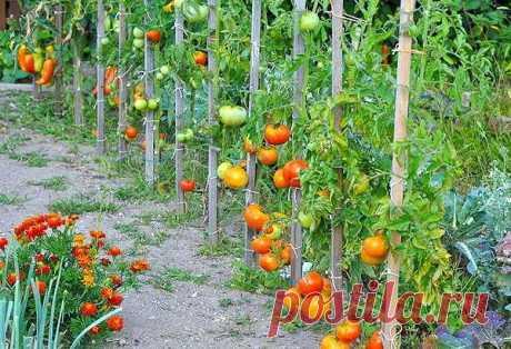 Как правильно формировать помидоры? Пасынкование томатов, формирование куста, удаление нижних листьев, подвязка