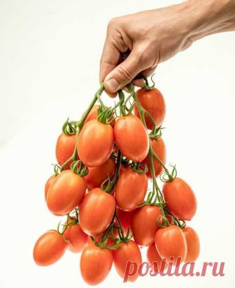Отличный томат для ОТКРЫТОГО ГРУНТА. | Зеленый Огород | Яндекс Дзен