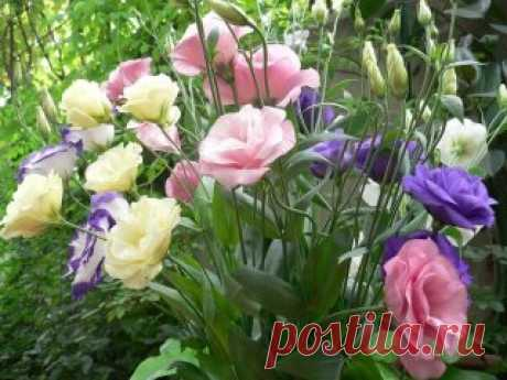 Эустома украсит ваш сад Эустома – очень привлекательное растение с сизыми, словно покрытыми воском, листьями и крупными воронковидными простыми или махровыми цветками нежных оттенков. Цветки у эустомы крупноцветковой достигают 7–8 см в диаметре. Они бывают самой разной окраски – белые, розовые, лиловые, фиолетовые, белые с цветной каймой и т. д. Полураспустившиеся цветки похожи на бутоны роз, а когда раскроются полностью – на крупные маки. Стебли у эустомы прочные, 80–90 см в высоту, примерно с
