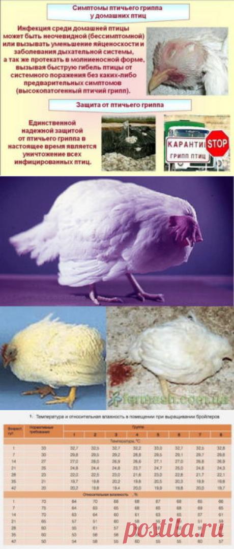 Совершенствование методики определениятемпературы у цыплят - БиоКорова