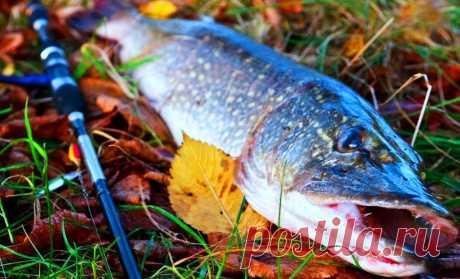 Осенний жор у щуки. Полезная информация начинающим щукарям | Начинающему рыболову | Яндекс Дзен
