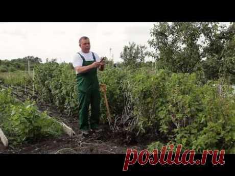 Почему засыхают кусты смородины