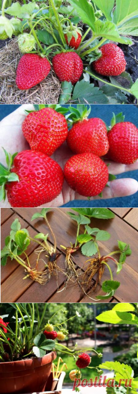 Клубника Медовое лето: описание сорта, выращивание и уход
