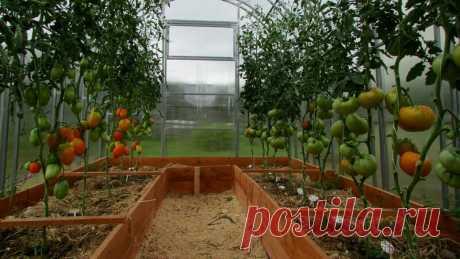 Как создать условия в теплице, при которых мы получим больший урожай | Огород - сад Медведевых | Яндекс Дзен