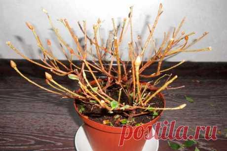 Как реанимировать азалию, если она засохла: способы оживления растения