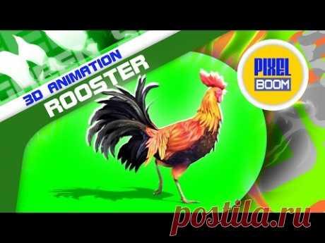 Green Screen Rooster Gallo Plumage Walk - Footage PixelBoom