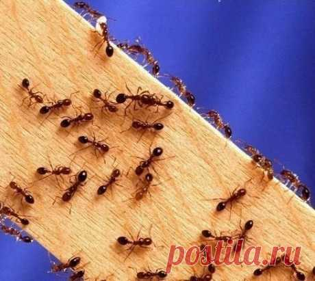 Чтобы избавиться от муравьев на кухне