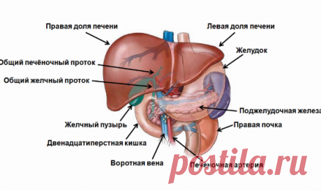 Киста печени - Лечение кисты печени народными средствами: самые эффективные причины
