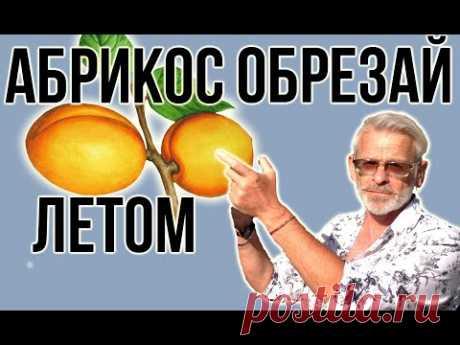 АБРИКОС / Летняя июньская ОБРЕЗКА абрикоса / Игорь Билевич
