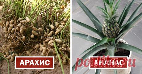 30 фото, показывающих продукты такими, какими мы их еще не видели! Kак фрукты и овощи выглядят до того, как созрели, до сбора урожая или обработки