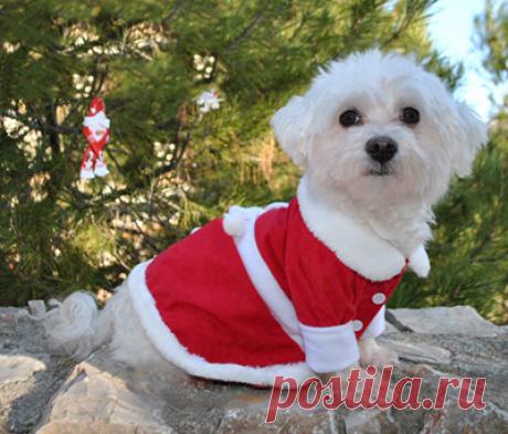 Как сшить костюм Деда Мороза Собаке на Новый год своими руками (выкройка)?