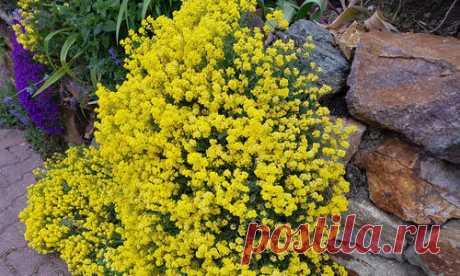 pochvopokrovnye mnogoletniki: el florecimiento en primavera