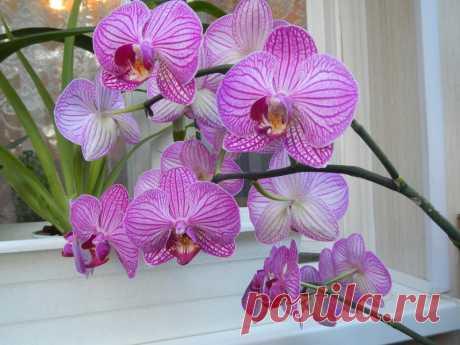 Сколько живут орхидеи (фаленопсис и другие) в домашних условиях и как узнать возраст растения Сколько живут фаленопсисы и другие орхидеи в домашних условиях, как определить их возраст, правильно ухаживать и омолаживать растения. Фото.