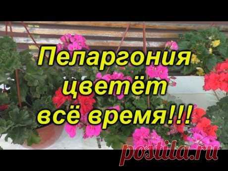 Пеларгония цветёт постоянно- что для этого нужно сделать.