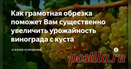 Как грамотная обрезка поможет Вам существенно увеличить урожайность винограда с куста Когда проводить обрезку винограда. Как правильно обрезать виноград. Рекомендации опытных виноградарей